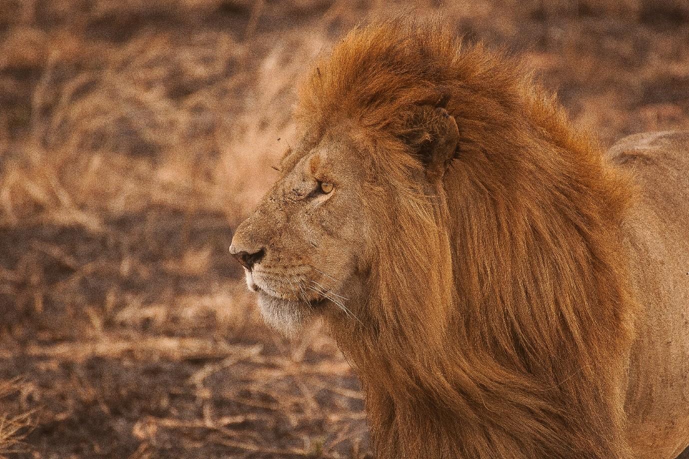 A lion on the Serengeti, Tanzania. Photo by Amar Yashlaha on Unsplash