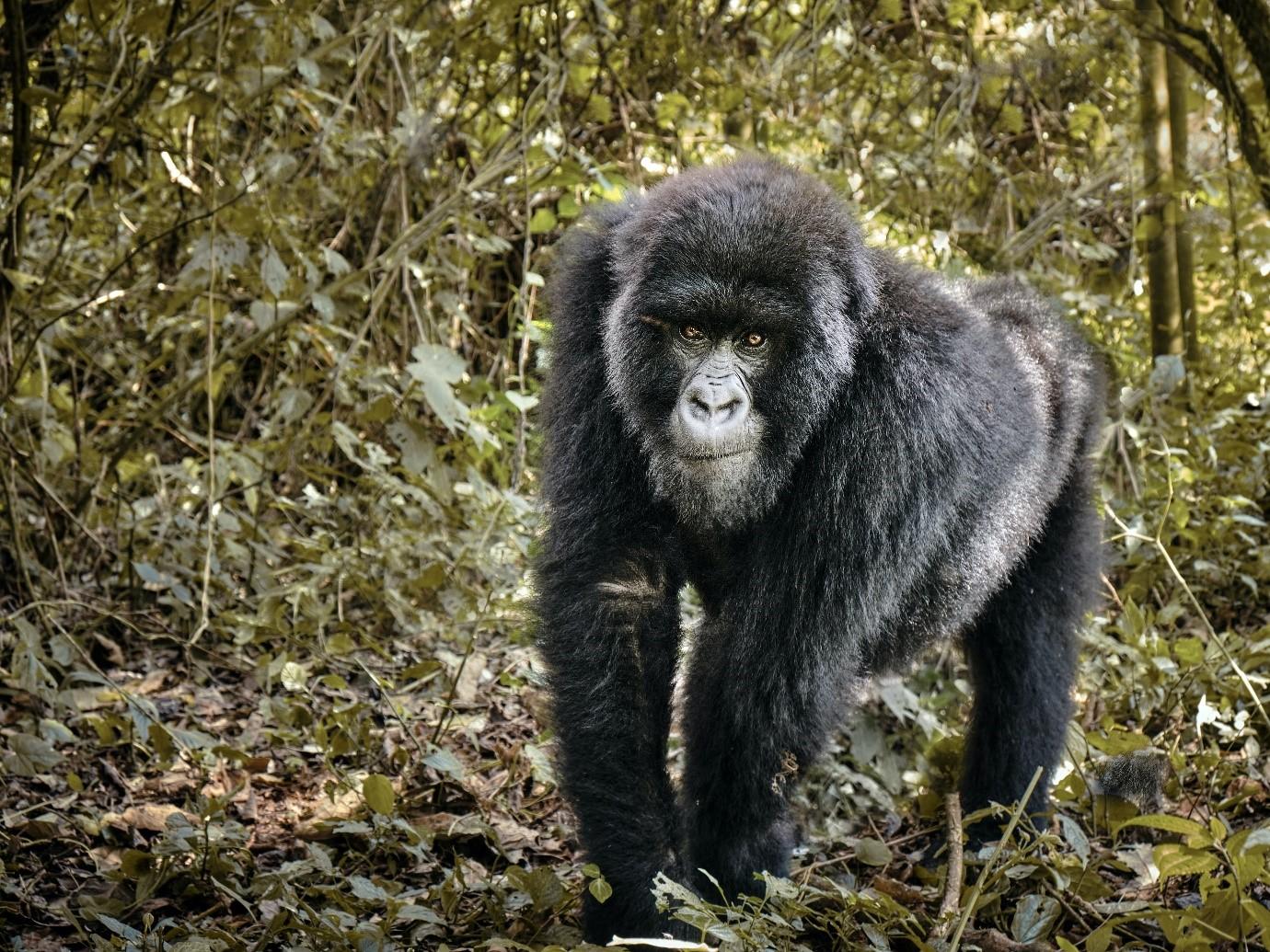 A gorilla in Virunga, Democratic Republic of Congo. Photo by Luc Huyghebaert on Unsplash